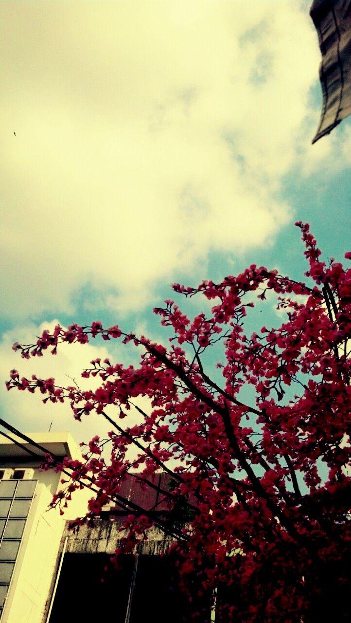 sakura on the sky