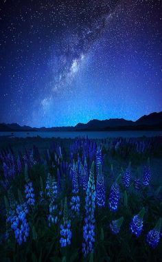 Midnight Blue - Lupines and Star, Lake Tekapo, New Zealand