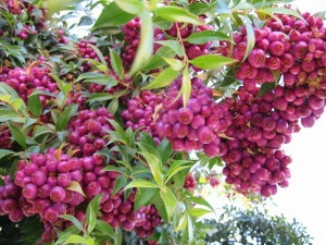 Lilly pilly (Syzygium luehmannii) is a medium sized Australian coastal rainforest tree with edible berries. Grows beautifully in gardens and good for attracting rosellas, lorikeets etc.