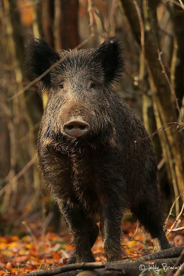 Wild Boar's message is about courage and protection; while at the same time remaining defiant and confident that your wisdom through experience will get you to place that you desire to be.