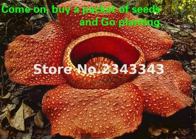 100pcs From Amazon! Rare Succulent Seed's For Sale, (Sementes, Indoor/Outdoor)