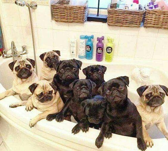 Rub A Dub Dub 9 Pugs In A Tub Pups Pinterest
