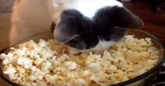 Kitty Discovers Popcorn For The First Time, But No One Was Prepared For His Hilarious Reaction! http://bit.ly/2lPE0bS