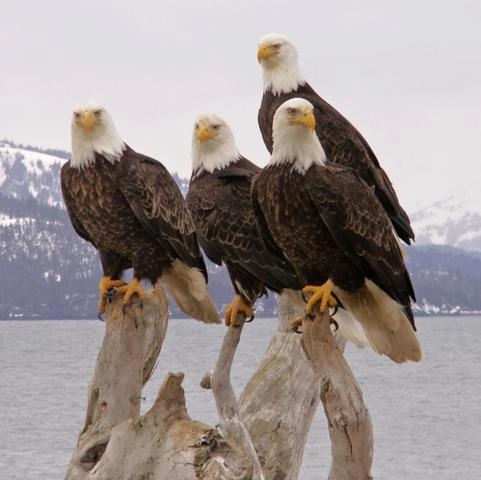 Bald eagles (Native American Art)