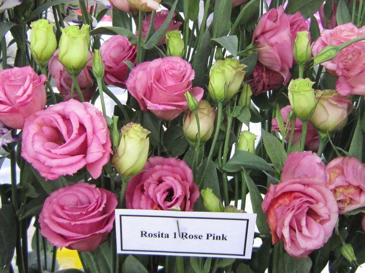 Mini Of Mt Laurel >> AmeriSeed Lisianthus Rosita 1 Rose Pink | AmeriSeed ...