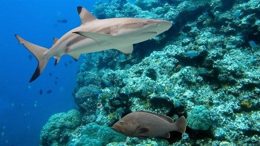 Shark! Scuba diving by the Great Barrier Reef in Australia #Oceania #KILROY