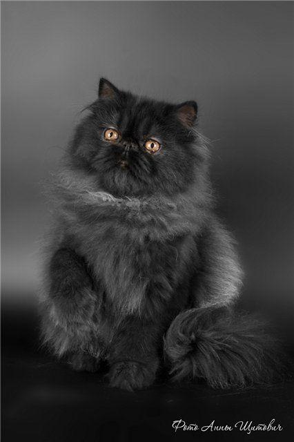 Найденные персидские коты