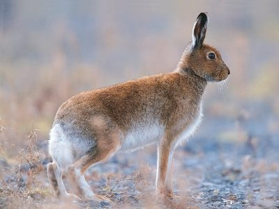 Irish hares can only be found in Ireland but are a subspecies of the Mountain Hare. They prefer undisturbed grassland and while active mainly at night, they can be seen in early morning or at dusk in springtime when the grass is still short.