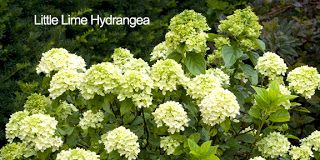 'Limelight' and 'Little Lime' Hydrangea - Great Shrubs for Any Garden