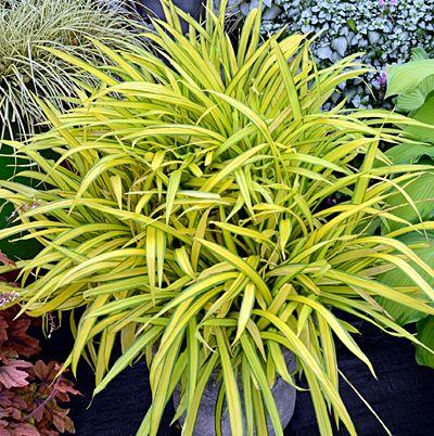 Klehm's Song Sparrow Farm and Nursery--Sun Perennials--Carex siderosticha 'Banana Boat' $18.95