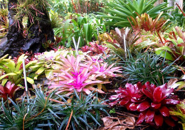 Bromeliads at Cairns Botanical Gardens.