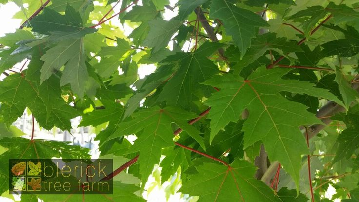 Acer x freemanii – Autumn Blaze – Purchase Bare Rooted Trees Online