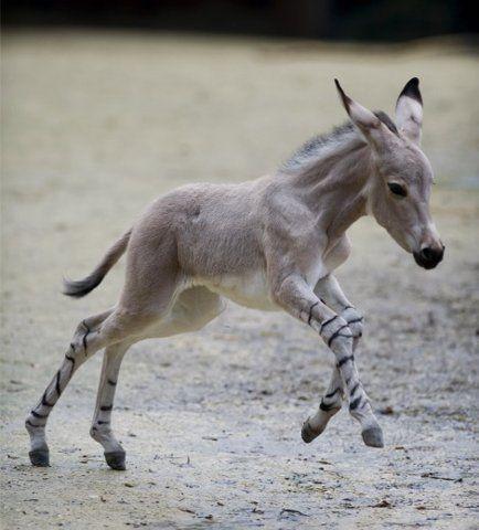Baby Zonkey (Zebra x Donkey) love!!!