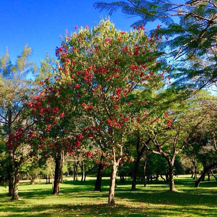 Rbol villetana en el jard n bot nico asunci n paraguay for Arboles del jardin botanico