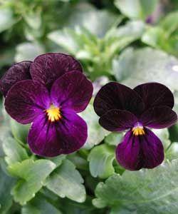 :: Mit Stauden gestalten :: Besondere Blütenfarben :: Extravagantes Schwarz - Pflanzenversand Gaissmayer