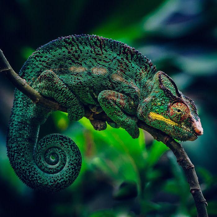 Chameleon. Nosy Be, Madagascar.
