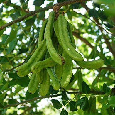 10 Seeds of Carob Tree