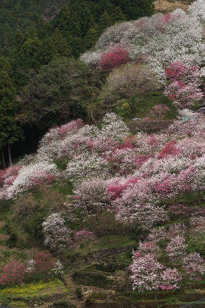 Peach blossoms, Niyodogawa, Kochi, Japan 仁淀川