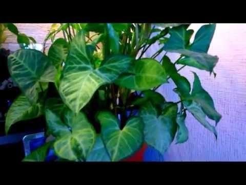 Растения для фитофильтра - 6 часть. Сингониум. - YouTube