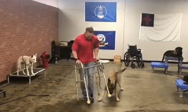 German Shepherd Fails Service Dog