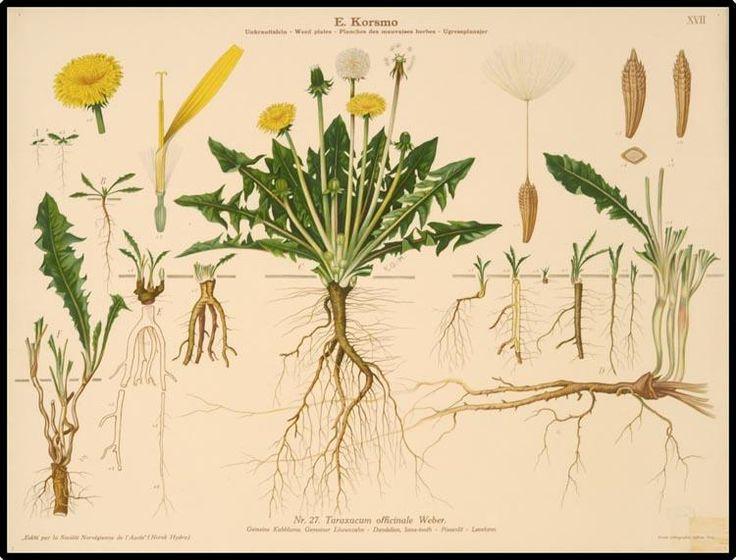 Taraxa Officinale The Dandelion Officinalis Asteraceae