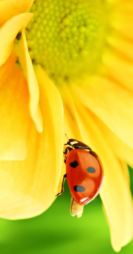 Lady Bug going to work on a daisy