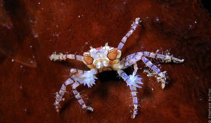 БОЙЦОВСКИЙ КРАБ Любопытный объект, любимый всеми фотографами — боксирующий краб (Boxing Crab или Lybia tessellate). Блестящий пример для иллюстрации взаимовыгодного сожительства (мутуализма) в подводном мире. Его проявление состоит в том, что краб в адаптированных клешнях передней пары ног нежным образом носит две актинии, чьи щупальца, усыпанные жалящими стрекательными клетками, представляют собой грозное оружие в своей весовой категории (размеры краба 4 см, актинии до 1 см).