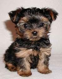 Tea Cup Yorkshire Terrier Puppy