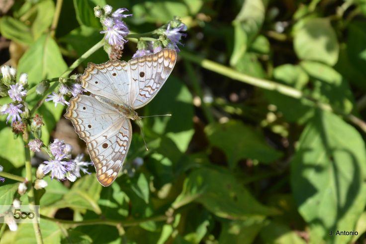Pansy butterfly by José Antonio  da Silva on 500px