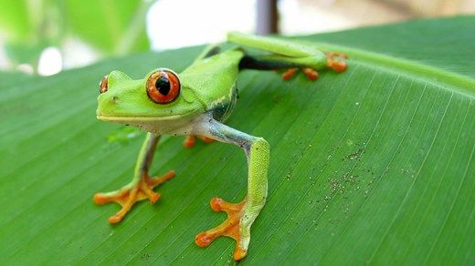 A green frog in Costa Rica - Experience the beutiful nature! Red eyed tree frog #reptile #nature #jungle #kilroy