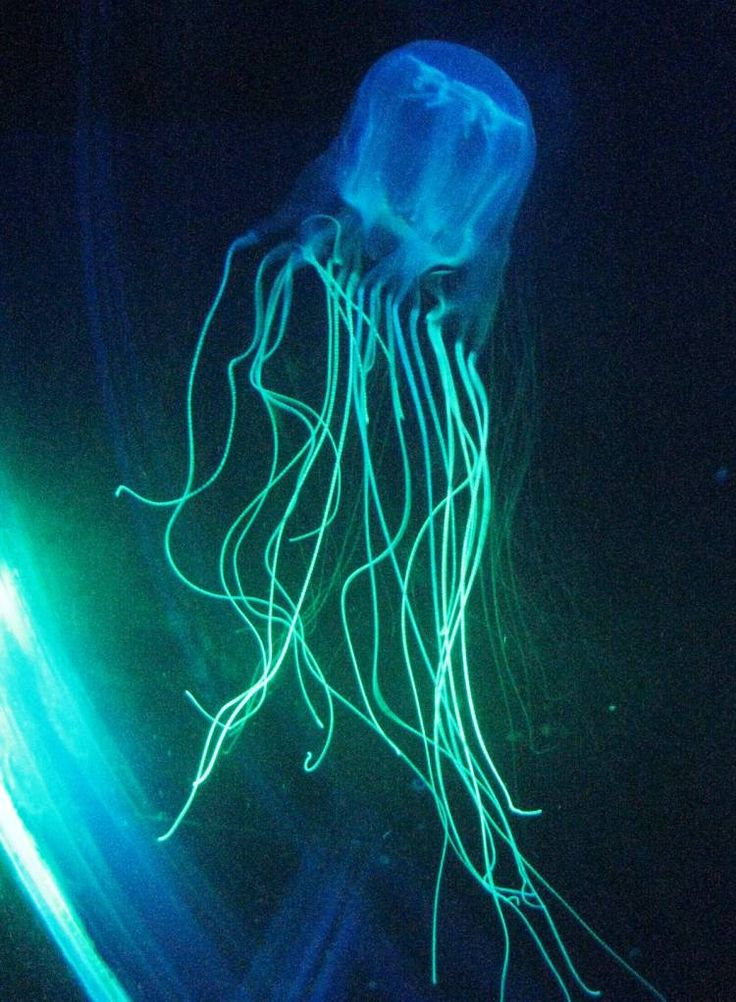 Box Jelly Fish - Another one of the worlds deadliest animals. If stung, the venom contained in their tentacles attacks a human's cardiac and nervous system. Again. Beautiful but deadly