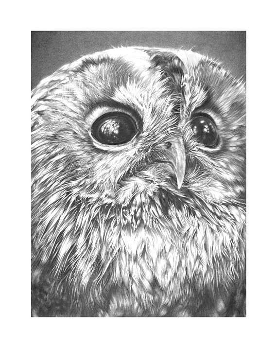 Tawny Owl drawing Limited Edition Art Print Owl picture Owl