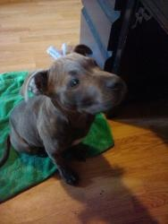 Pilsner is an adoptable Pit Bull Terrier Dog in Redmond, WA. Name: Pilsner Age/Gender: Baby (born late June, 2012), Male Breed: Pit Bull Terrier mix Temperment: Sweet and Silly, Loving and mellow Wei...