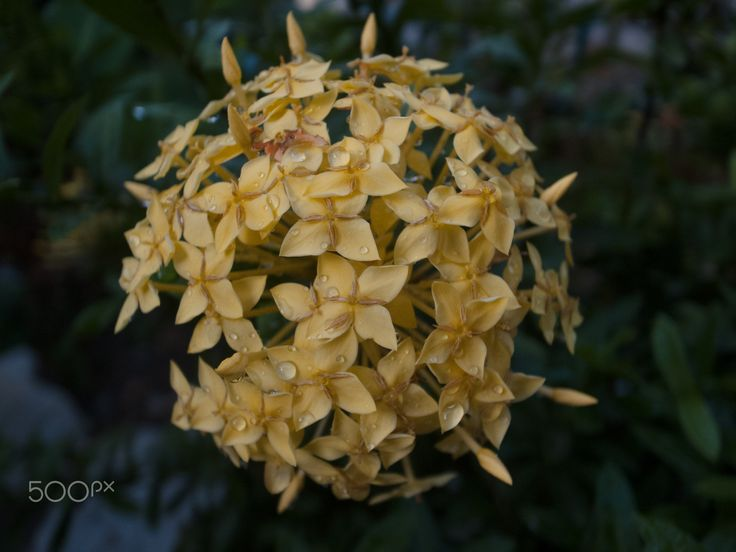 Ixora Maui Sunset Yellow (Ixora coccinea) - null