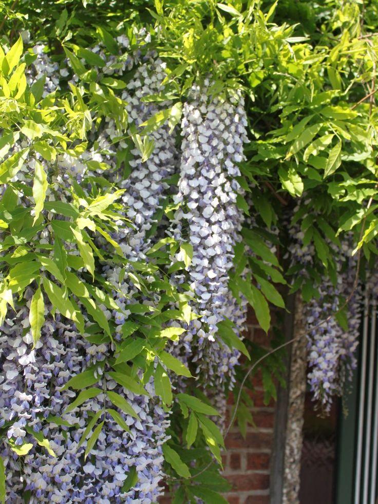 die besten 25 wisteria sinensis ideen auf pinterest bonsai samen chinesischer baum und blaue. Black Bedroom Furniture Sets. Home Design Ideas