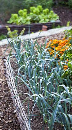 Poireau : semis, culture, et récolte des poireaux