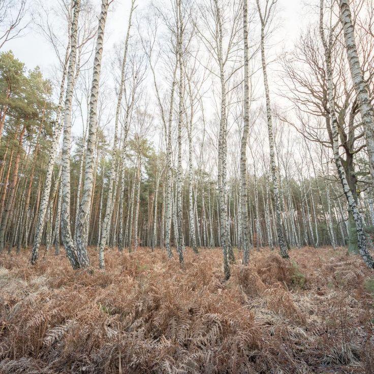 Bild 30 - Zadlitzbruch in der Dübener Heide bei Torgau | © Michael Eichhorn #zadlitzbruch #dübener_heide #naturschutzgebiet #sachsen #saxony #ausflugsziel #torf #moor #hochmoor #wandern #dübenerheide #duebenerheide #torgau #baddueben #baddüben #wald #sumpf #sumpfgebiet #natur #naturschutz #reservat #biosphäre #biosphere #farn #naturpark #falkenberg #trossin #dresden #nordsachsen #leipzig #sehenswürdigkeit #ziel #sonnentau #sumpfdotterblume #kranich