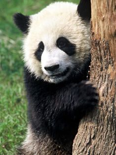 giant panda, Sichuan Province, China - World Wildlife Federation ♥