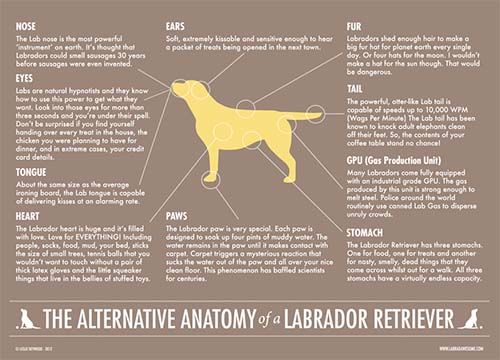 This tongue-in-cheek anatomy poster from Labradors Worldwide made its way into my inbox recently and I couldn't wait to share it! I think all dog parents, regardless of breed or mix, will appreciate this. My faves?    Ears: Soft, extremely kissable and sensitive enough to hear a packet of treats being opened in the next town.