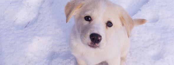 Honden kunnen op ijs en sneeuw lopen zonder koude voeten te krijgen. Wetenschappers hebben hun geheim nu ontrafeld.  In het blad Veterinary Dermatology doen onderzoekers van een Japanse universiteit hun studie uit de doeken.   Temperatuur  Honden kunnen gedurende lange tijd op ijs en sneeuw lopen en rennen. En dat is eigenlijk best bijzonder. Hun lijf mag dan bedekt zijn met flink wat haar, hun pootjes (en dan met name de zolen) worden aan flink wat kou blootgesteld.