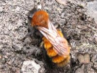 Tawny Mining Bee - not to be confused with 'Digger Bees'.  Solitary bees that excavate tunnels and cells under-ground, preferring sandy soil, valuable pollinators. Found mostly in Europe.