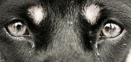 Ask a Vet: Why Do Dogs Get Eye Boogers? What About Tear Stains?
