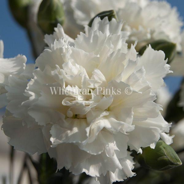 Fragrant repeat flowering. 'Memories'.