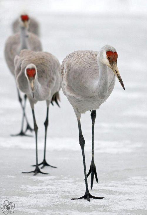 Best 18 Cranes images on Pinterest   Pájaros bonitos, Aves exóticas ...
