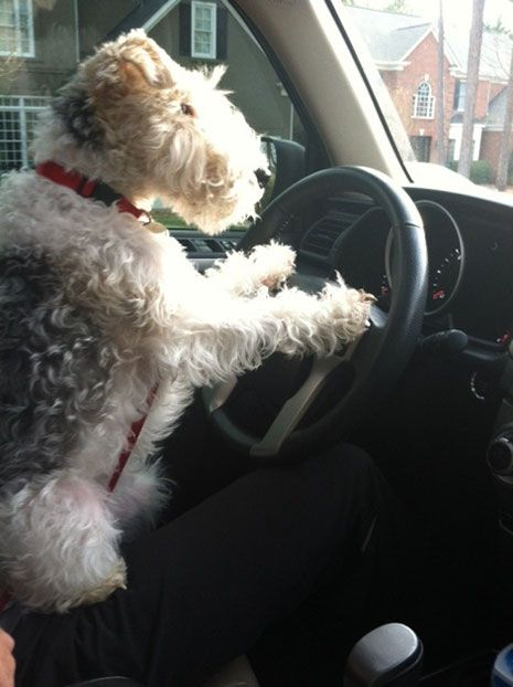Olive, a wire fox terrier from Charlotte, North Carolina. Get your motor running.....