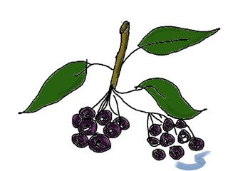 Aronia or Chokeberry (fruit that heals)