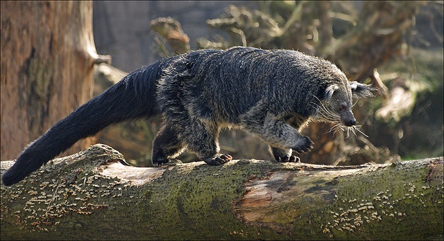 The Binturong - also known as the Asian or Palawan Bearcat