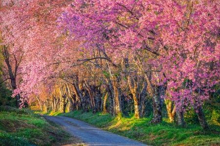 Camino hermoso flor de cerezo en el bosque tropical Chiang Mai Tailandia Foto de…