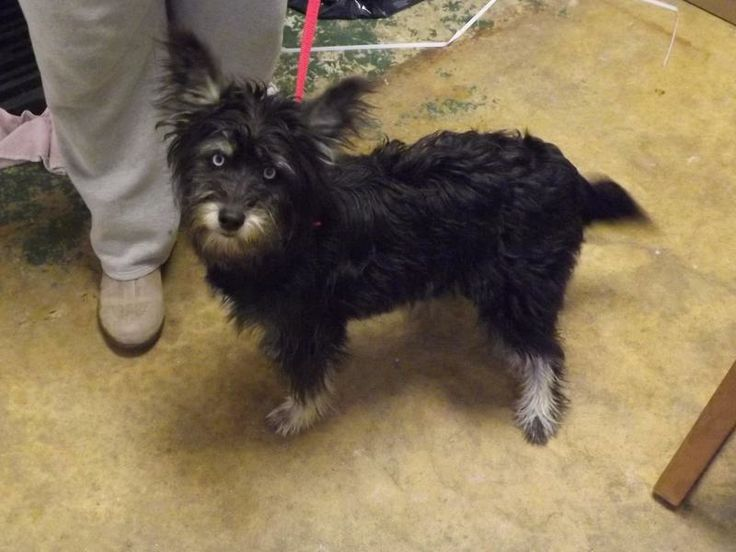 ADOPTED!! Fergie Schnauzer • Young • Female • Medium Pike County Dog Pound Waverly, OH. ABOUT FERGIE Fergie was picked up as a stray. She knows how to sit and stay. This dog is 1-2 years old, and weighs 17 pounds. This dog has been wormed for roundworms and hookworms and vaccinated with a 5 way vaccination.