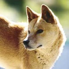 It was less than 15,000 years ago, near China, when someone tamed the first wolf, and 10,000 years later when the dog reached Australia. The Dingo is the ancestor of all dog breeds, the pure original dog before the intensive breeding by humans over the last 500 years.